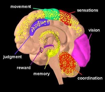 Áreas del cerebro sobre las que actúa el THC